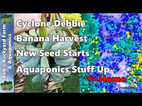 Cyclone Debbie Banana Harvest New Seed Starts & Aquaponics Stuff Up