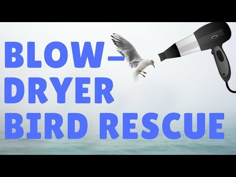 Watch this Bird get Rescued by a Blow Dryer!