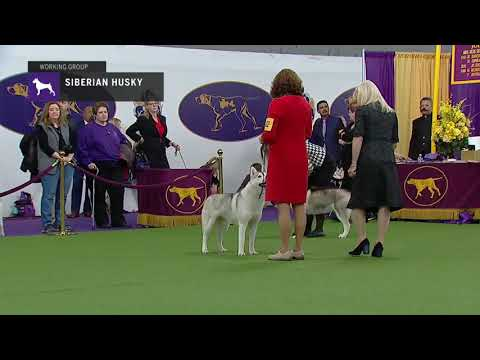 Siberian Husky (Part 2) | Breed Judging (2019)