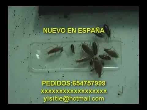 MUY EFICAZ REMEDIO ELIMINAR CUCARACHAS SIN TOXICOS SOLUCION EXTERMINAR PLAGAS DEFINITIVAMENTE