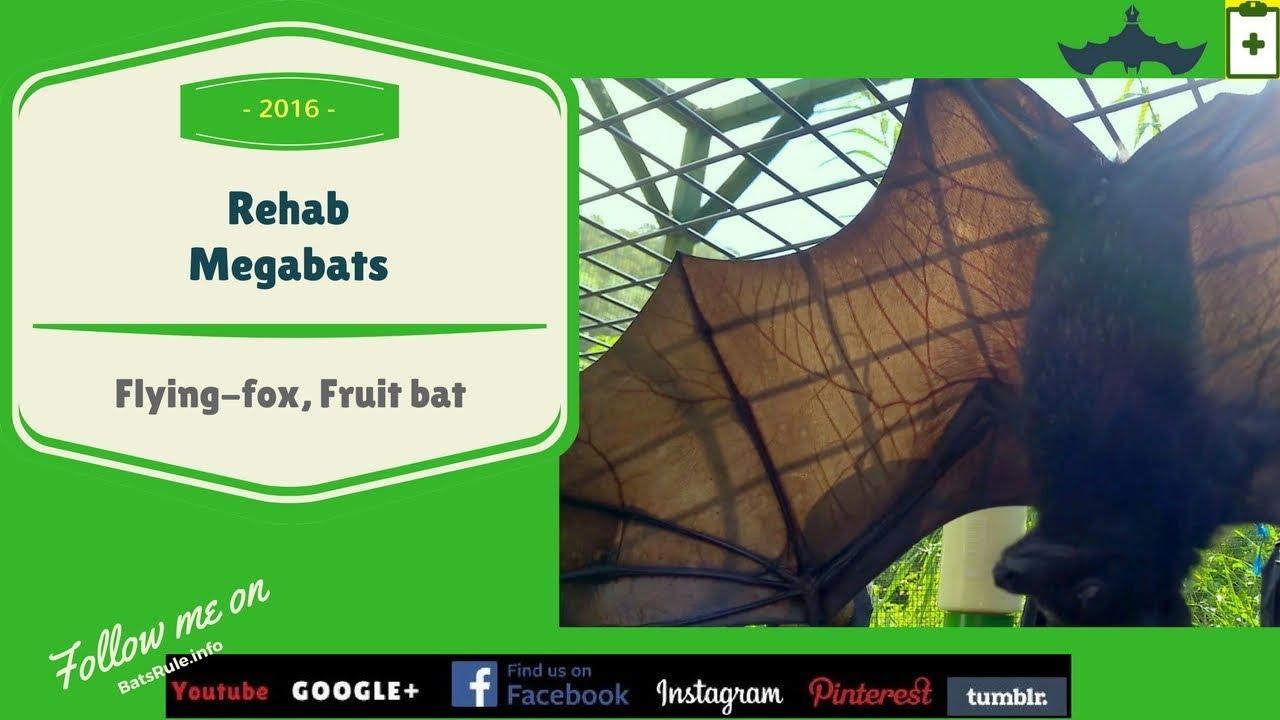 Rehab Megabats Rescued In Care Flyingfoxes Fruit Bats Youtube