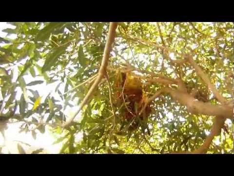 Bee Control Huntington Beach, Tree Bee Hive 1