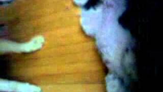 Wolf Attacking Poodle