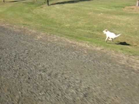 Parson Russell Terrier running at 40 km