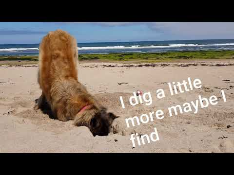 Beach day with my leonberger dog