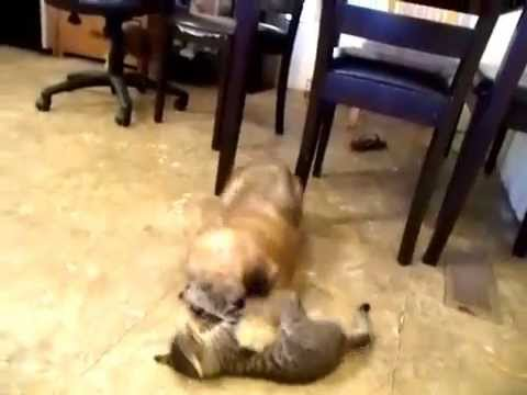 Wheaten Terrier Puppies Playing with a Kitten