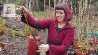 Planting trees from cuttings / Growing trees / Planting Willow and Elder