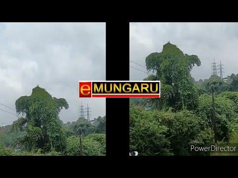 ಅದ್ಭುತ: ಮಂಗಳೂರಿನಲ್ಲಿ ಪ್ರಕೃತಿಯಲ್ಲಿ ಕಂಡ ಮರಬಳ್ಳಿ ಗಣಪತಿ (Video)