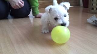Westie Puppy Trying To Eat Yellow Balloon