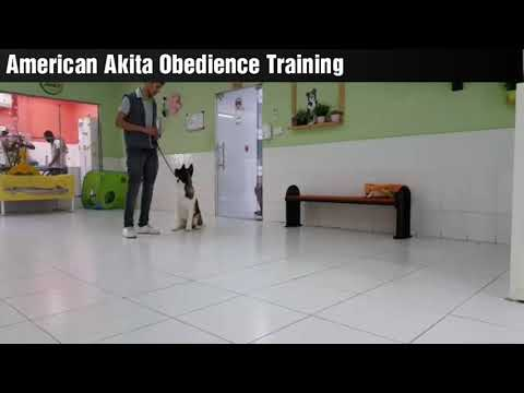 Dog Obedience Training (American Akita)