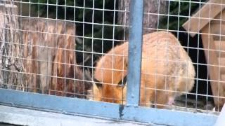 Очень грустная лисичка в Московском зоопарке.