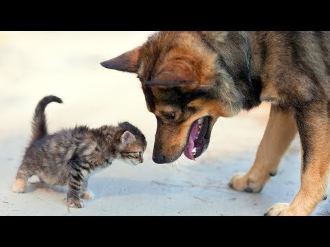 Dogs Meeting Kittens for the First Time Compilation (2015)