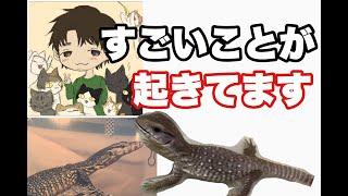 本当にすごいです。 爬虫類を飼う前から、そしてもちろん今も 勉強のために爬虫類系YouTuberと呼ばれる方達の動画は観ています。 そんな要は憧...