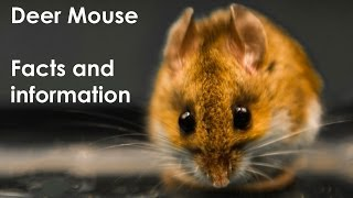 Deer Mouse Facts, live captured North American Deer Mouse, Peromyscus maniculatus
