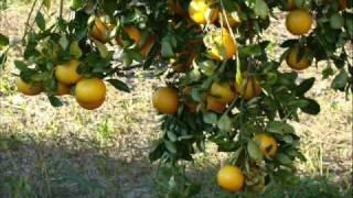 U pick citrus 0001