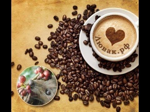 Кофе Копи Лювак - Kopi Luwak Coffee - YouTube