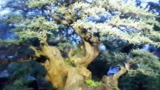 KEREN ABIS BONSAI HARGA RATUSAN JUTA - bonsai tree price hundreds of millions rupiah - بارد بونساي