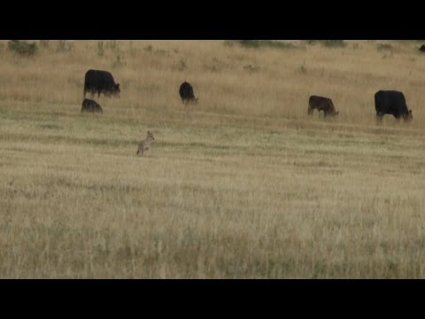 Coyote Hunting with a 270 – CoyoteHuntingHQ video # 2