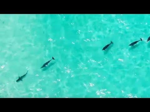 Вот почему акулы боятся дельфинов и косаток!..