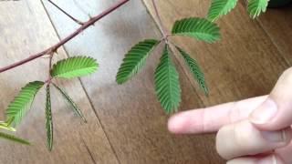 Sensitive Plant. Cool :)