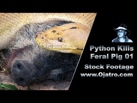 Python Kills Wild Boar 01 Stock Footage