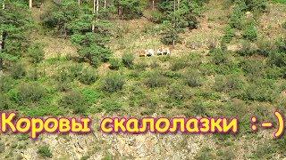Козы? Нет, коровы в горах! (09.19г.) Семья Бровченко.