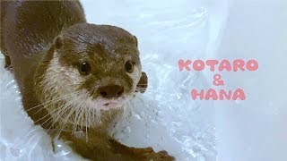 カワウソコタローとハナ 深夜までハナの遊びに付き合わされる Otter Kotaro&Hana Staying Up Late