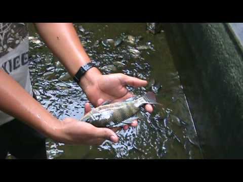 Como criar mojarra tilapia