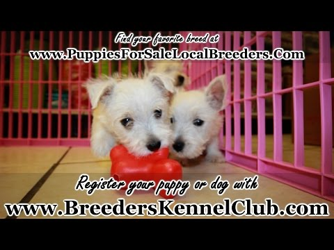 WESTIE, WEST HIGHLAND TERRIER PUPPIES FOR SALE IN GEORGIA FROM LOCAL BREEDERS