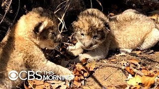 Lion cubs conceived through artificial insemination for first time