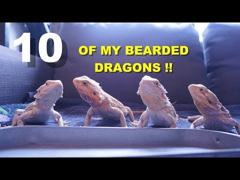 Meet All Of My Bearded Dragons !!! Part 2 Of Meeting All Of My Pets