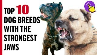 Top 10 Dog Breeds with the Strongest Jaws | Interesting to know | Keep it in mind