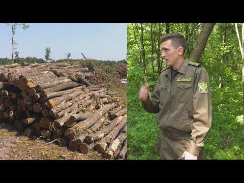 ТРК Аверс: Рубають дуб, а кажуть, що дрова: волинські лісівники попалися «на гарячому»