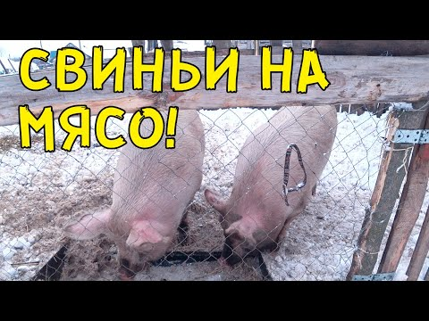 Завалило снегом. Будем забивать свиней на мясо.