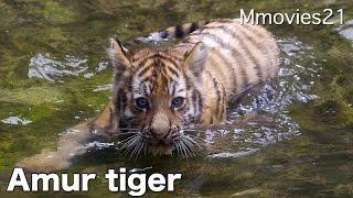 Amur tigers at the Asahiyama zoo,Hokkaido,Japan. Zaria (female/6). ...