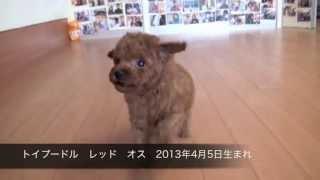 トイプードル レッド オス 2013年4月5日生まれ ◎浜松 ペットショップ バ...