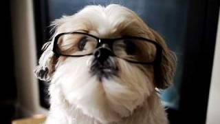 [shih Tzu] 仔仔試戴眼鏡 Ewok Tried On A Pair Of Non Prescriptive Glasses...