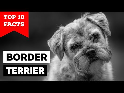 Border Terrier  Top 10 Facts