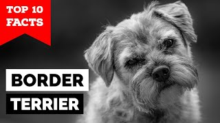 Border Terrier  Top 10 Facts