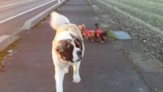 ボス犬セントバーナード子分率いて散歩夕日が綺麗で、引いて撮影しよう...