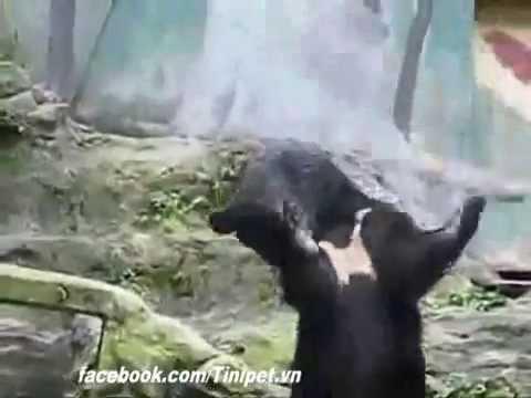 Gấu múa gậy như Tôn Ngộ Không