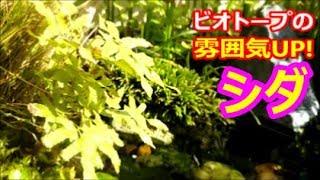 身近なシダ植物を探してビオトープに植える♪ 小型のシダは使いやすくて便利☆【ビオトープのシダ植物・ノキシノブ・イノモトソウ】