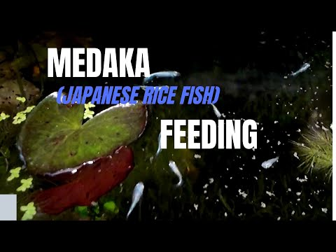 MEDAKA  (JAPANESE RICE FISH) FEEDING At Night / 幹之メダカ