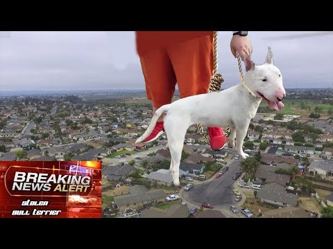 RESCUING A STOLEN BULL TERRIER PUPPY USING A DRONE (Happy Dog Reunion)