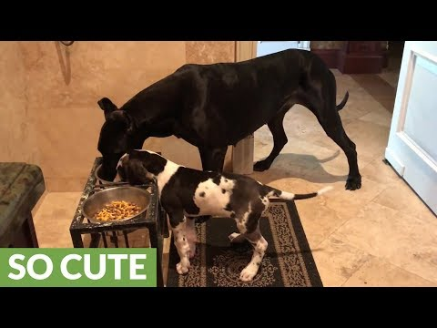 Great Dane & puppy eat from same dinner bowl