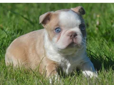 Lilac Fawn Boston Terriers
