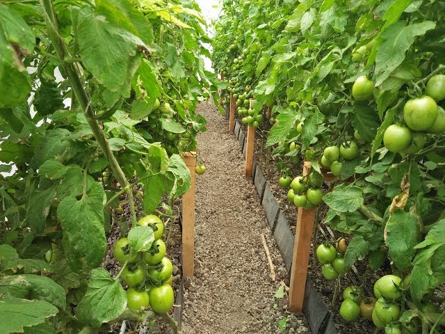 Hydroponic Tomatoes Recovery from Pests & Diseases in Kenya
