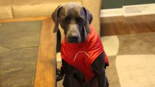 Weimaraner Angry About Wearing Socks