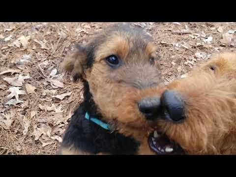 Squirrel Tree AKC Airedale Terrier Puppy Puppies For Sale On February 10, 2019