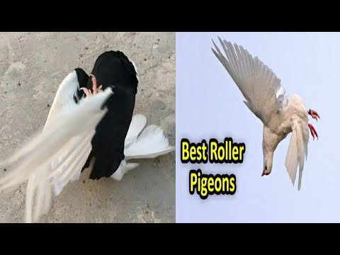 Roller Pigeon | Ground Roller Super Performance | Amazing Stunts Of Galatz
